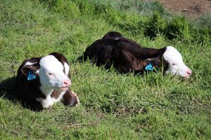 Our two bobby calves are growing and starting to eat grass. They enjoy the nice spring sun in the paddock and love to scare the alpacas.
