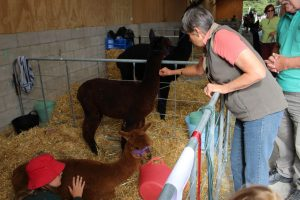 Visitors feeding getting in touch with our alpacas