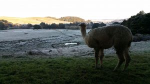 Geena watching over the frosty Kaipara valley