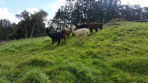 The alpacas on the upper paddock. Lets hope they'll get the grass under control