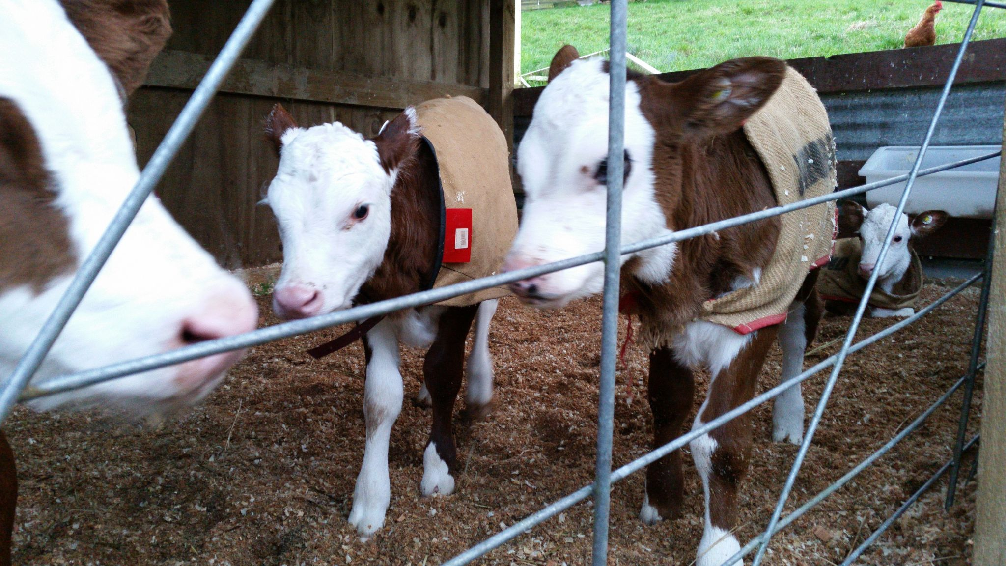New Calves 2016: Shimmer and Shine