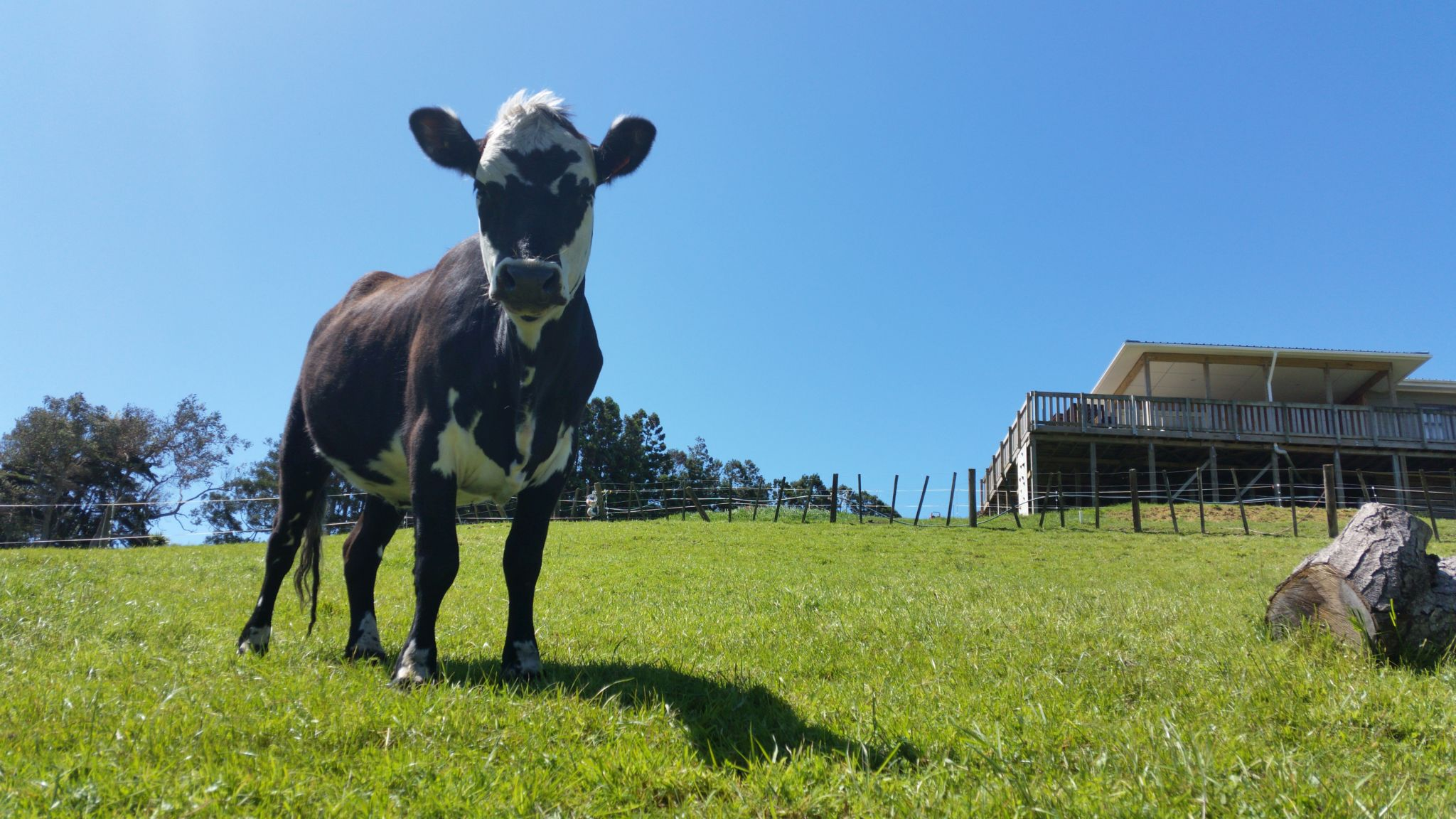 Ange is our oldest cow