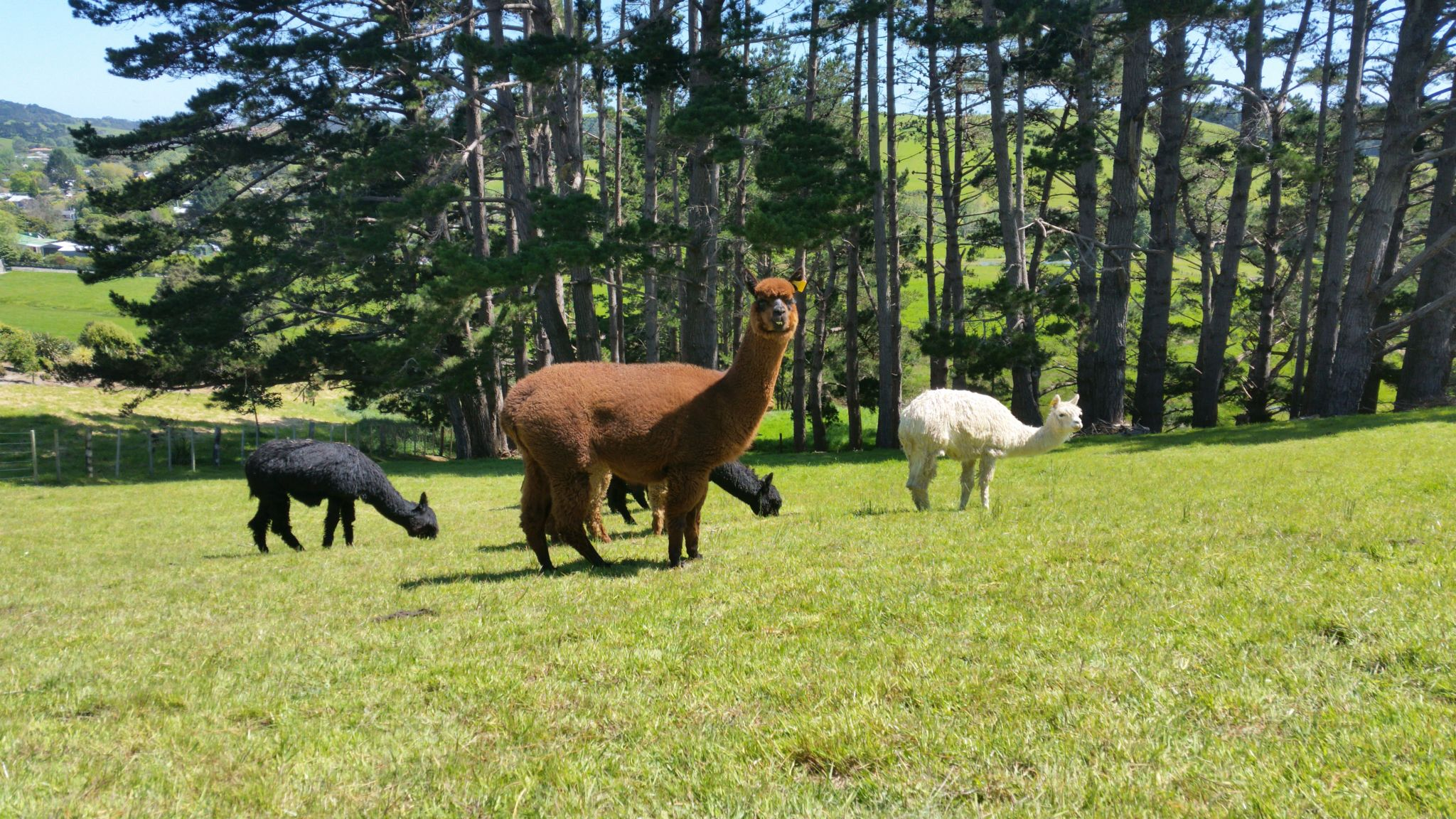 Our alpacas, happy and nosy