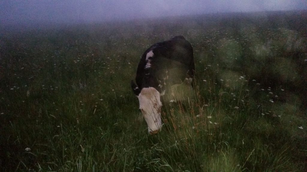 Dark brown and white cow in the dark grass with blurry fog in the background
