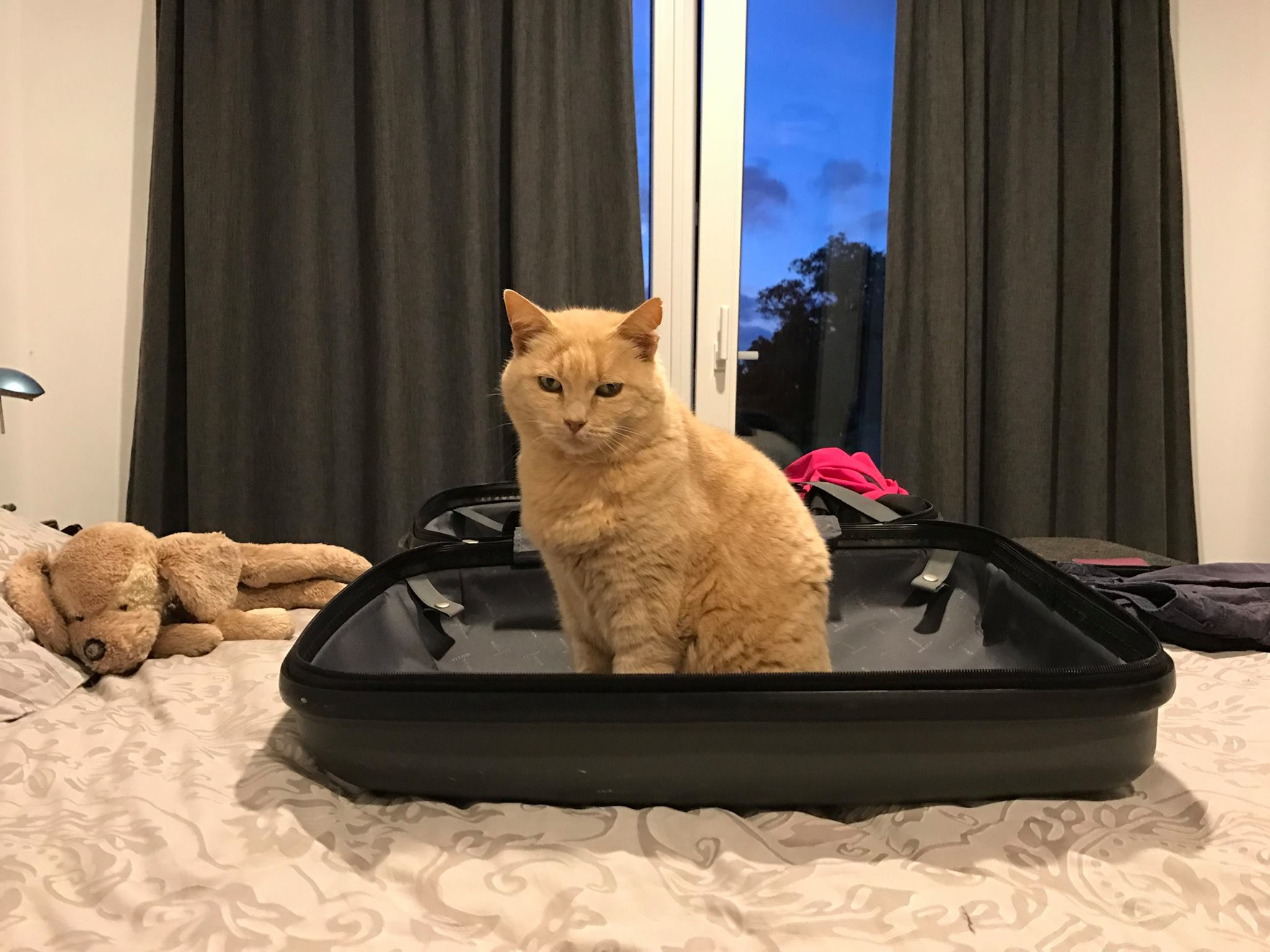 A cream coloured cat sitting in a suitcase on the bed