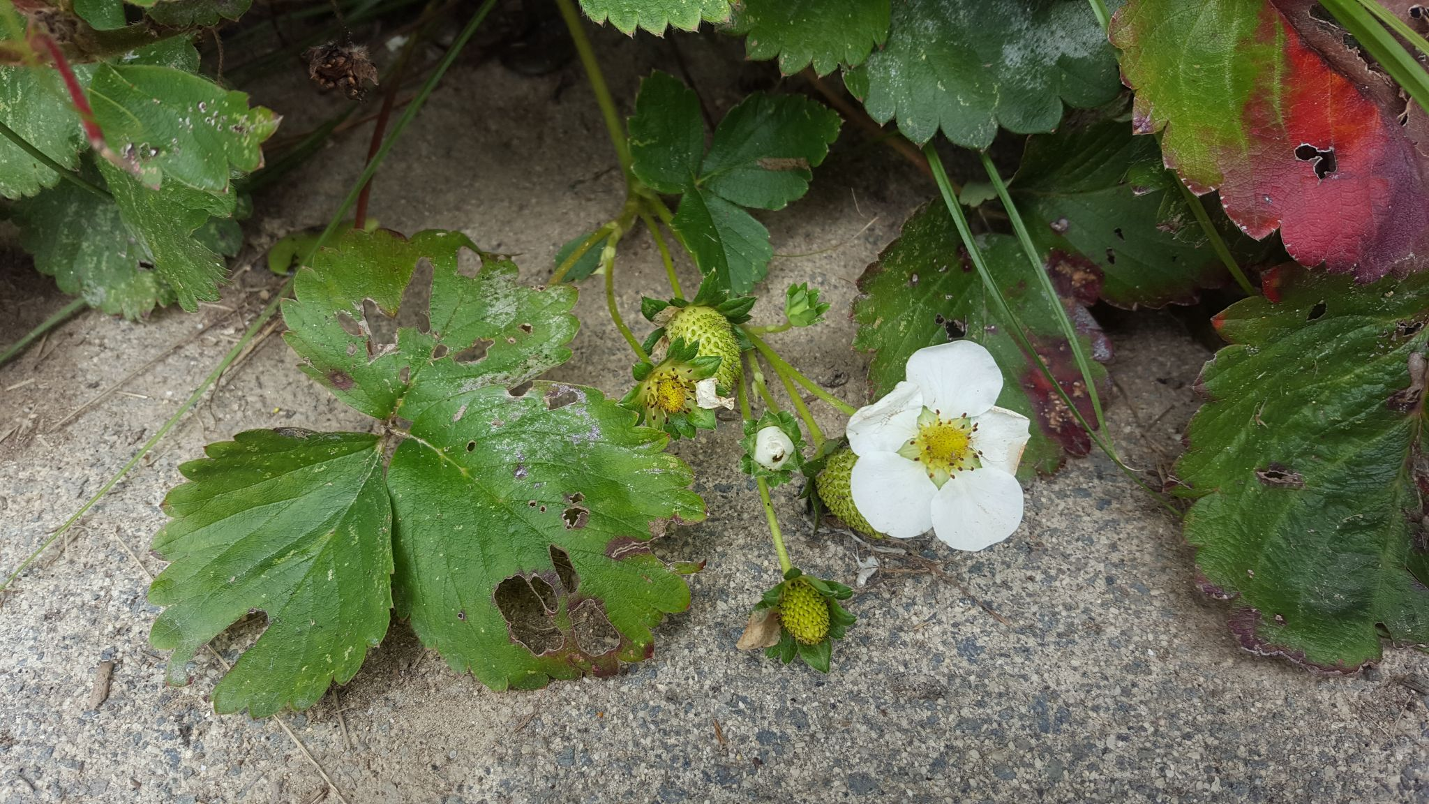 Nice to see that we can still harvest the odd strawberries