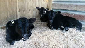 Our new babies ❤ Agnes Moo, Abigail Nosy Moo and Angela Moo