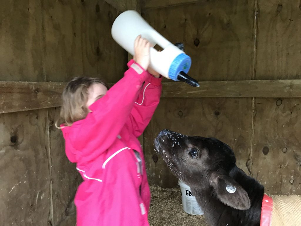 Jolan feeding calves