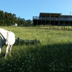 Shady in his new paddock with fresh grass