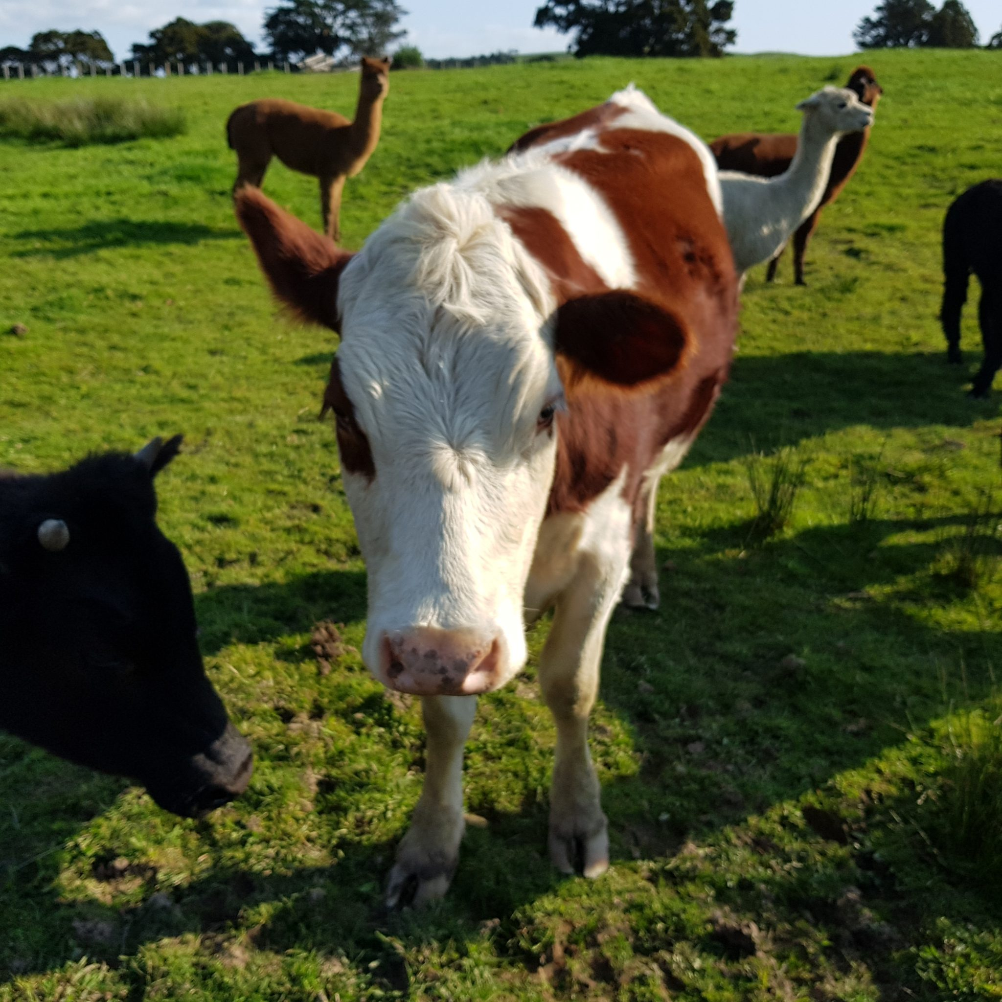 Kau and Abigail, our two cows in the lower paddock
