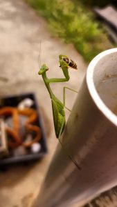 Praying Mantis eating a wasp