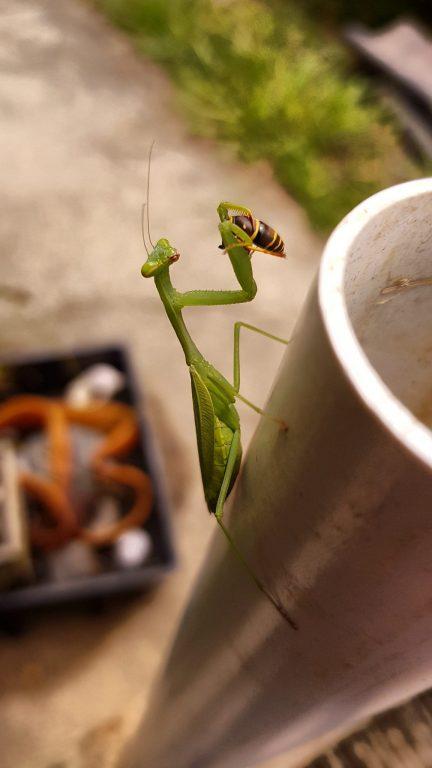 Praying Mantis eating a wasp
