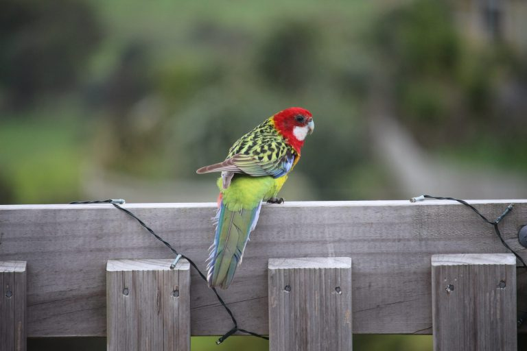 Green parrot-like bird with red head on a timber balustrade
