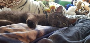 A charcoal coloured cat in a bed with lots of cuddly toys surrounding her
