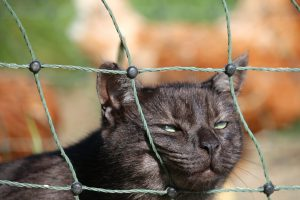 Charcoal cat with her face stuck half into a green mesh fence