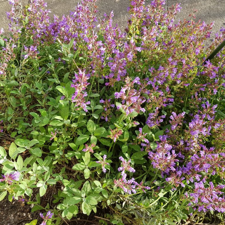 Sage booming in a nice lavender colour