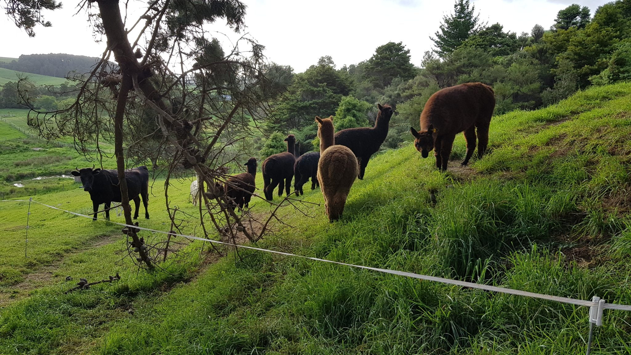 Bunch of alapacas on a green grassy hill behind some white electric tape fence