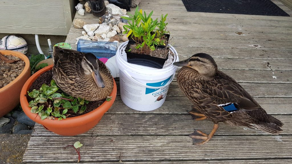 Two ducks, one sitting on a timber deck, the other in a flower pot right next to the other