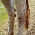 A horse hind leg with a bleeding cut just across the joint
