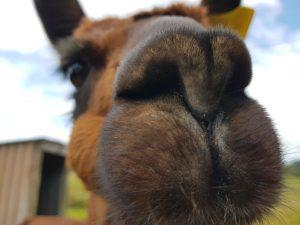 A fluffy brown alpaca nose in close-up