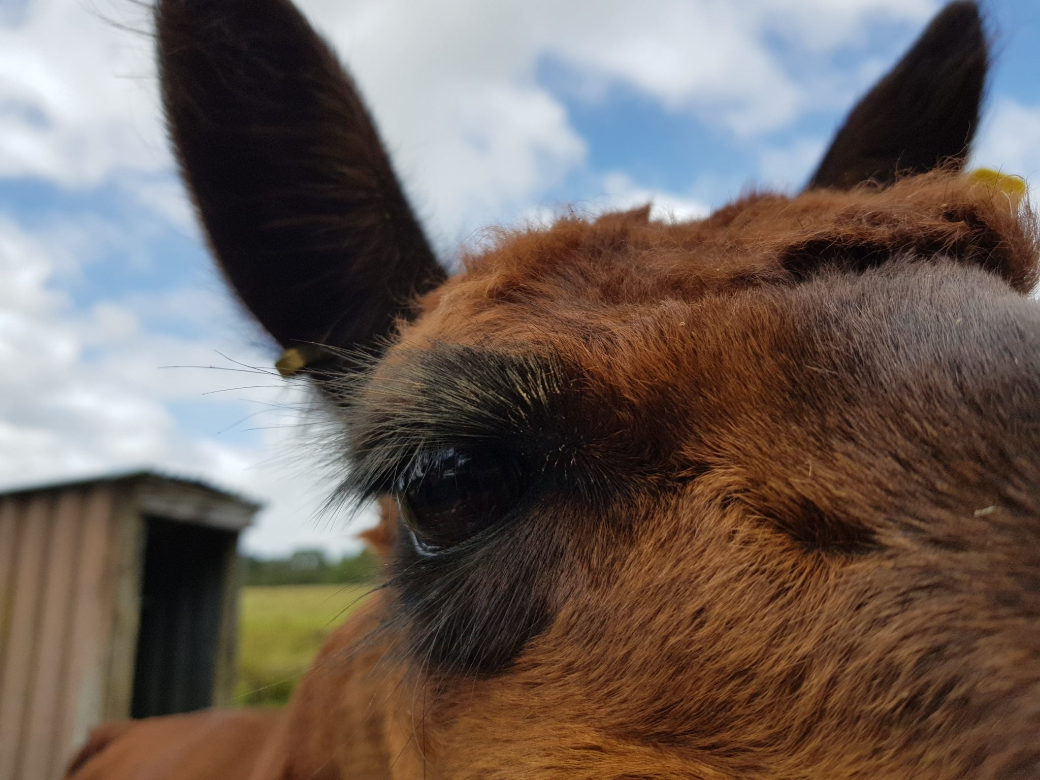 An alpaca eye - that's how close the alpca is