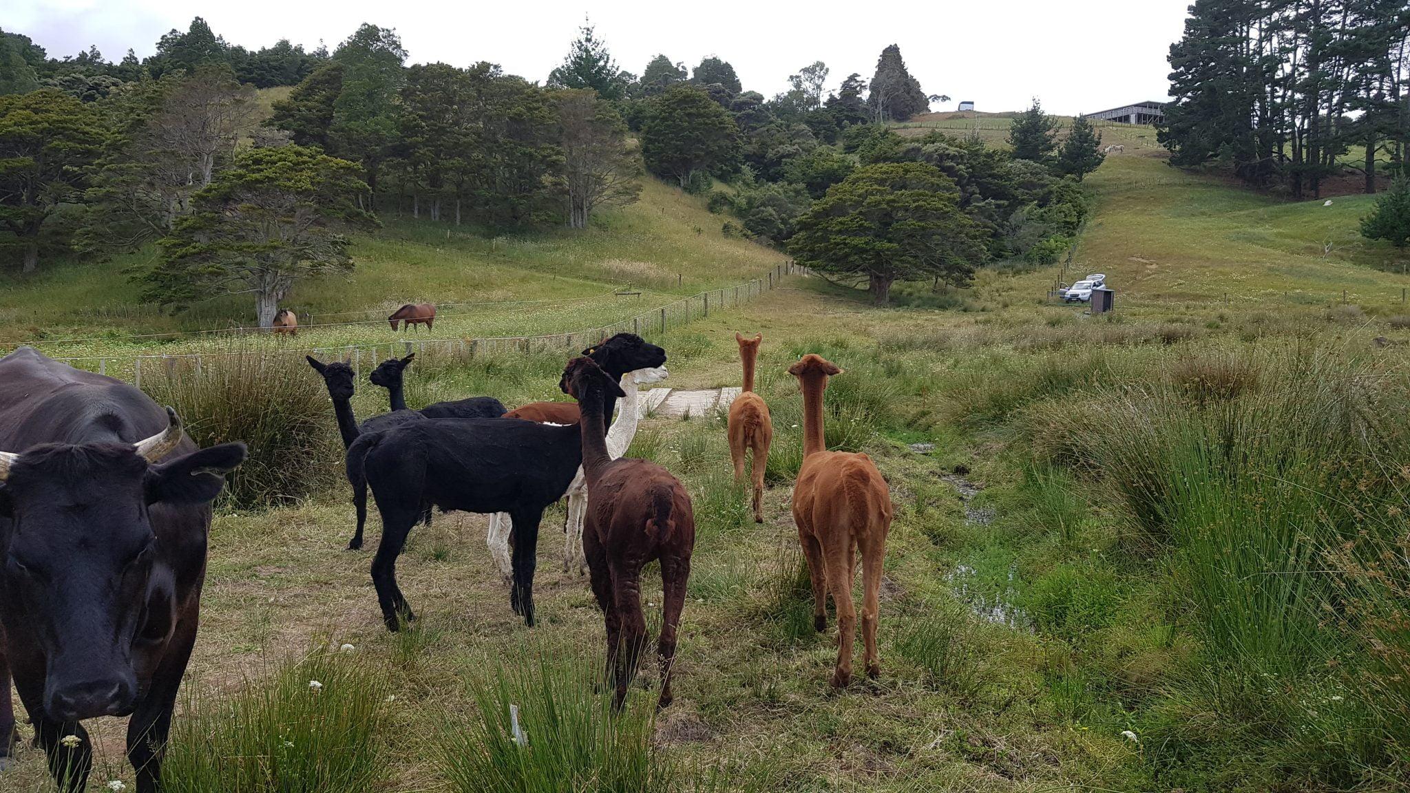 A herd of alpacas in a paddock