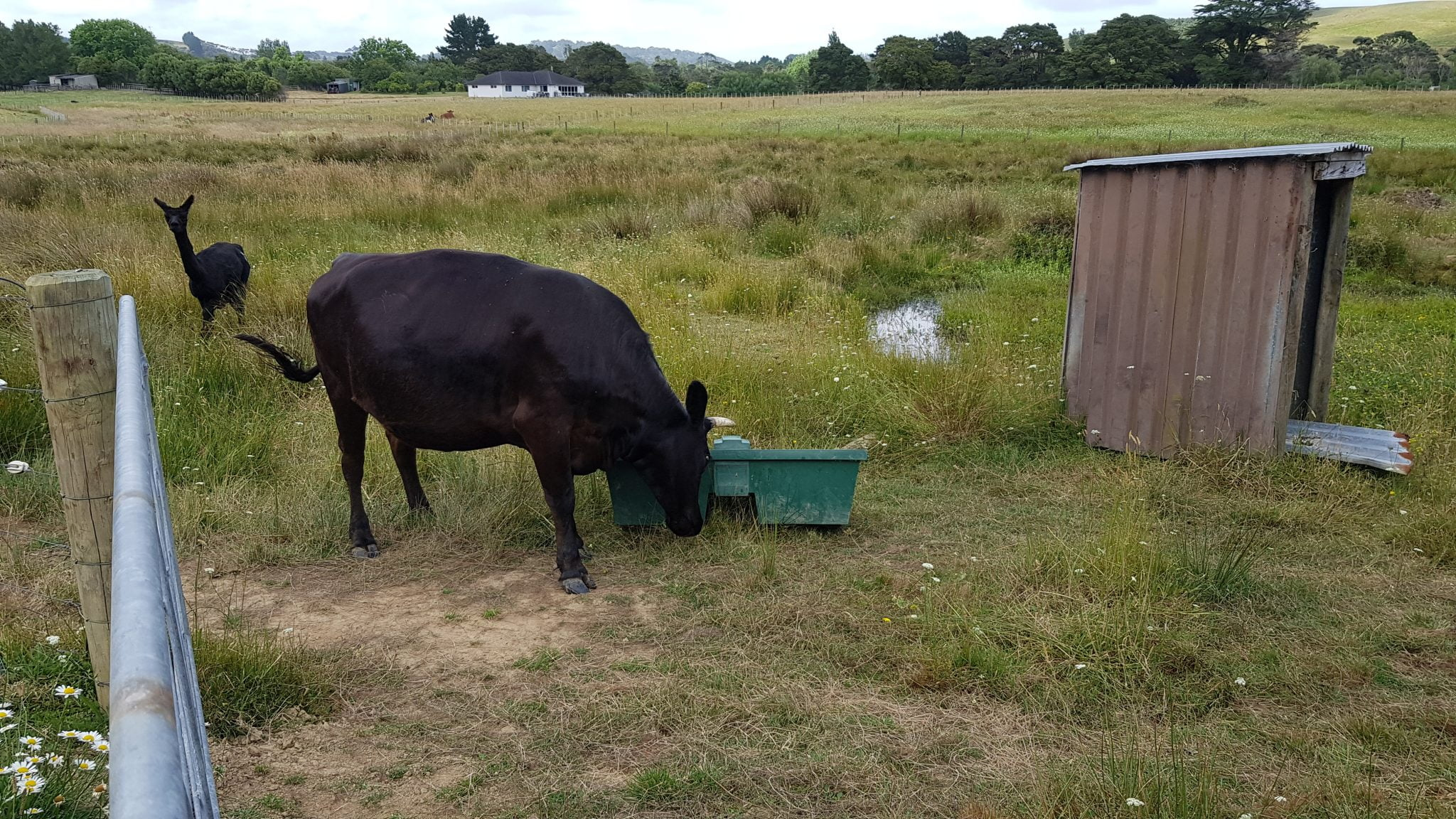 Big black cow with horns pushing around on a green plastic square water trough