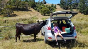 Big black cow poking her head into the rear window of a car parked in the paddock