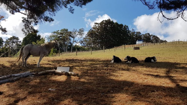 Taken fron underneath some pines, looking up the hill, a white horse and three black and white calves laying in the grass, blue sky above