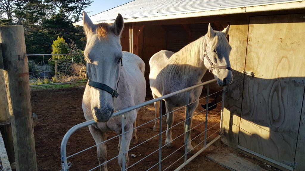Two white horses in a yard in front of a timber shelter