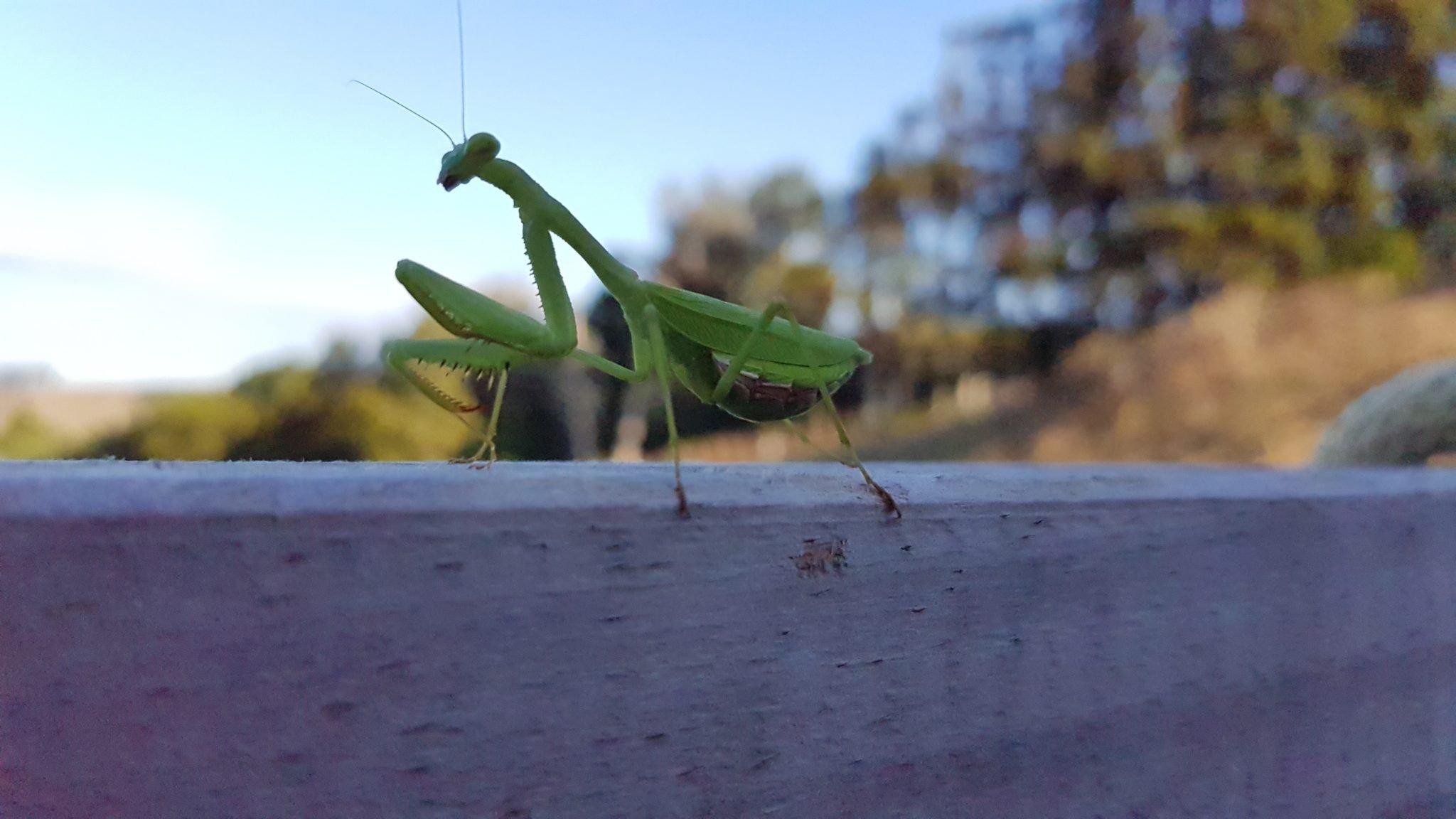 closeup view of praying mantis on a timber handrail