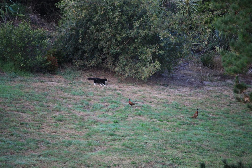 A fluffy tomcat sneaking across the grass towards two phesants.