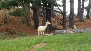 White alpaca standing a green grass in front of a strip of pine forest