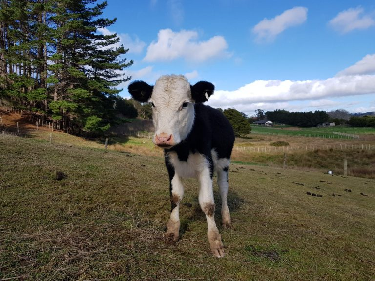 Cute calf in the paddock