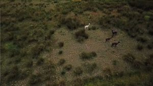 Aerial view of some alpacas in a green paddock