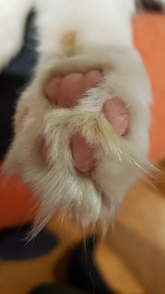 Close-up image of a flufft cat pow underside with toebeans