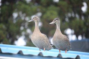 Two hybrid mallard/grey ducks on the house roof