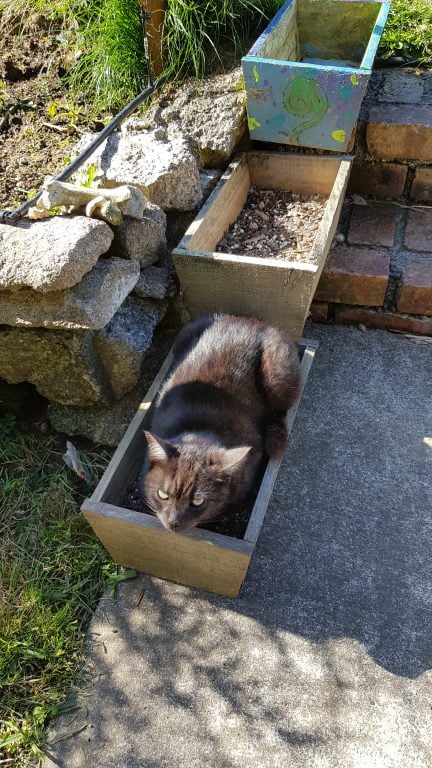 Black cat in a wooden planter box