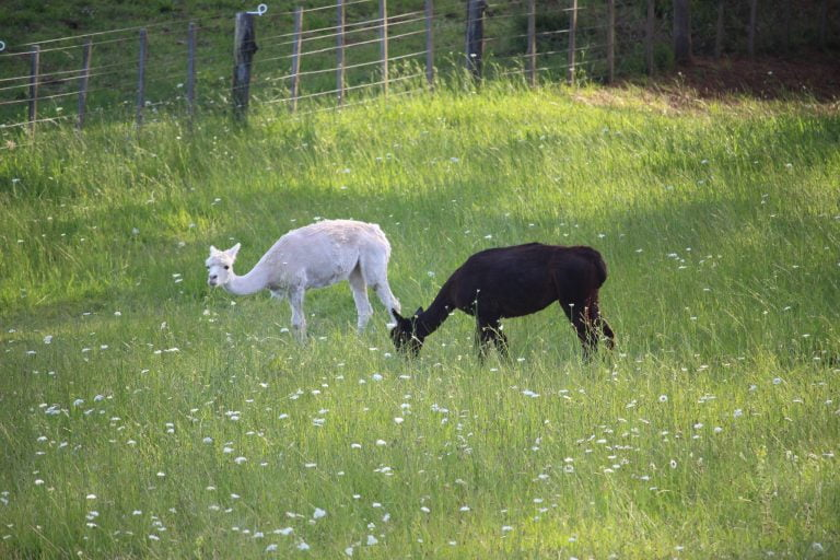 Two alpacas in thick green grass