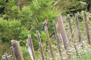 Eastern Rosella on the fence line