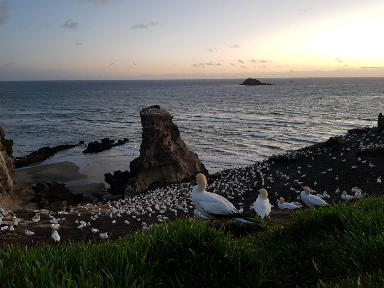 View across gannet colony with a gannet in the foreground and a large rock in the ocean behind.