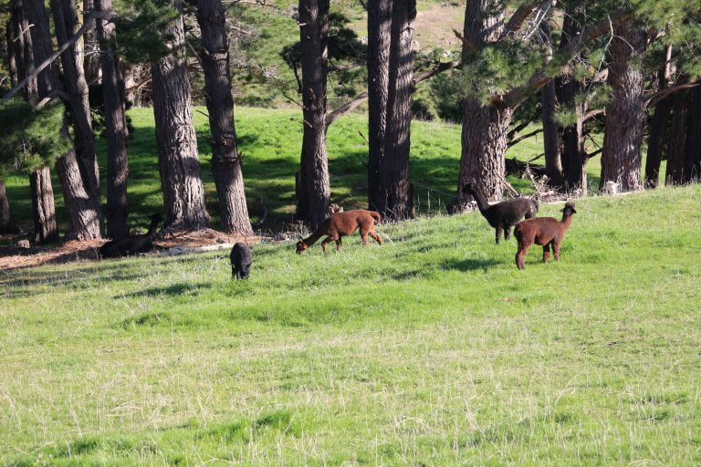 Several light brown to black coloured alpacas in a grassy green paddock sloping down with pine tree trunks in the background