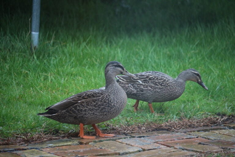Two grey ducls and a brick pathway in the wet with wet grass behind them.