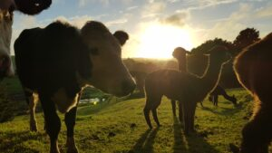Cows and alpacas in front of sunset